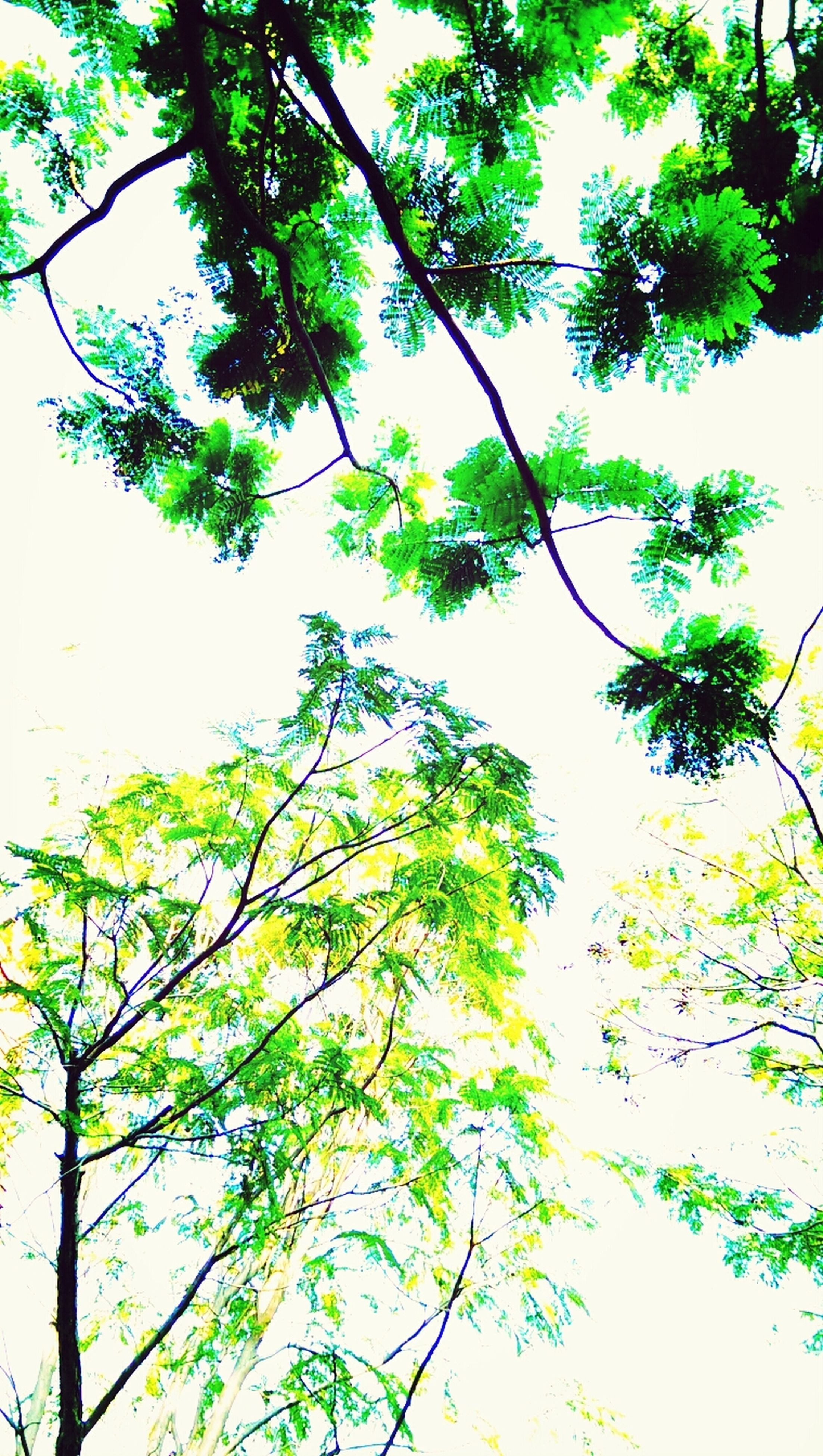 tree, branch, low angle view, growth, nature, green color, tranquility, leaf, beauty in nature, clear sky, day, outdoors, lush foliage, sky, no people, tree trunk, scenics, green, tranquil scene, twig