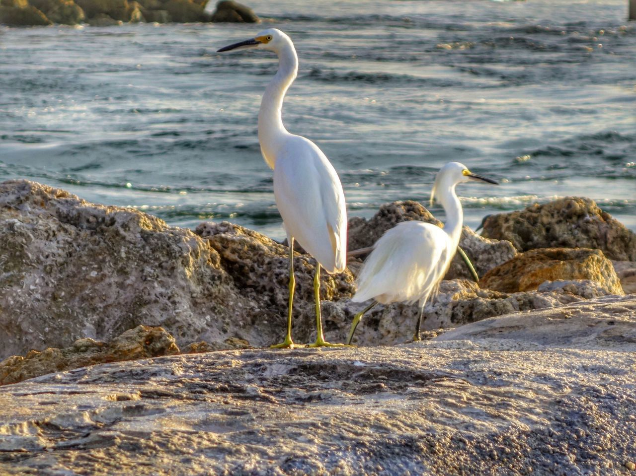 animals in the wild, bird, animal themes, white color, water, rock - object, nature, animal wildlife, great egret, day, lake, egret, one animal, beauty in nature, no people, crane - bird, outdoors, swan