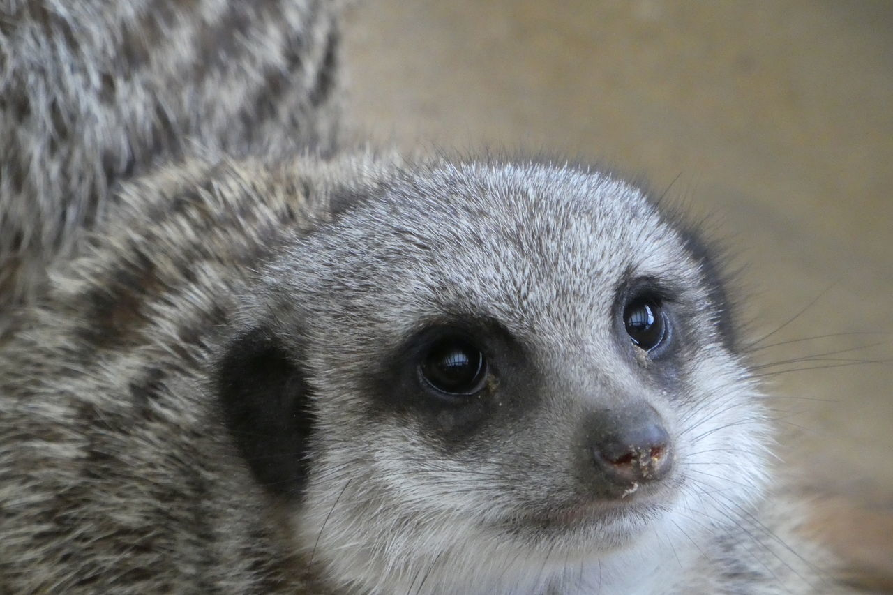 Beautiful stock photos of raccoon,  Animal Eye,  Animal Themes,  Animal Wildlife,  Animals In The Wild
