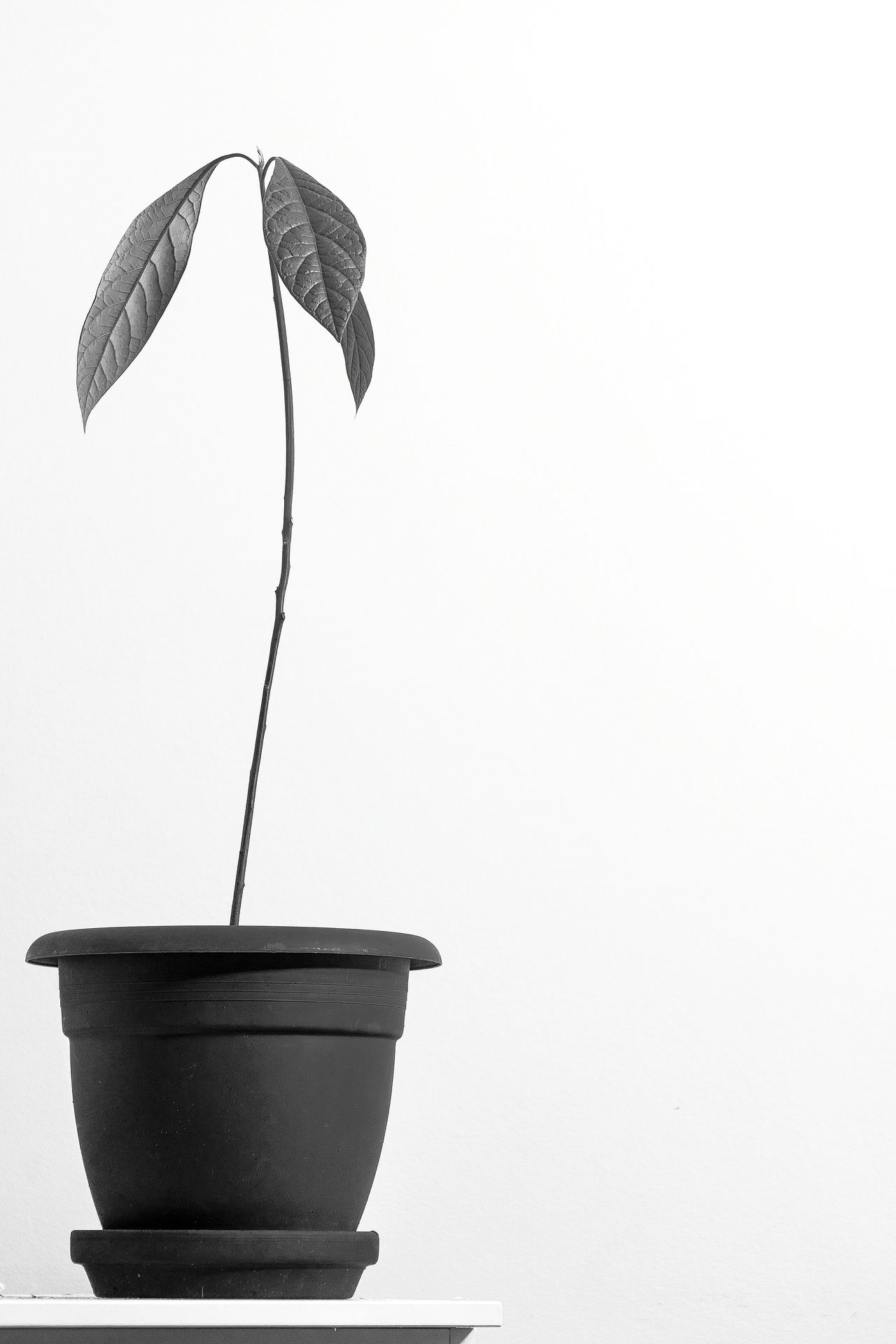 Growth No People Flower Indoors  Nature Minimal Sony A7mk2 Flowerporn Growing Plants Black&white Black & White B&w Photography Check This Out Showcase: January StillLifePhotography Artistic White Background Daily Commute EyeEm Masterclass Still Life Eye4photography  Growth SONY A7ii Plant Avocado