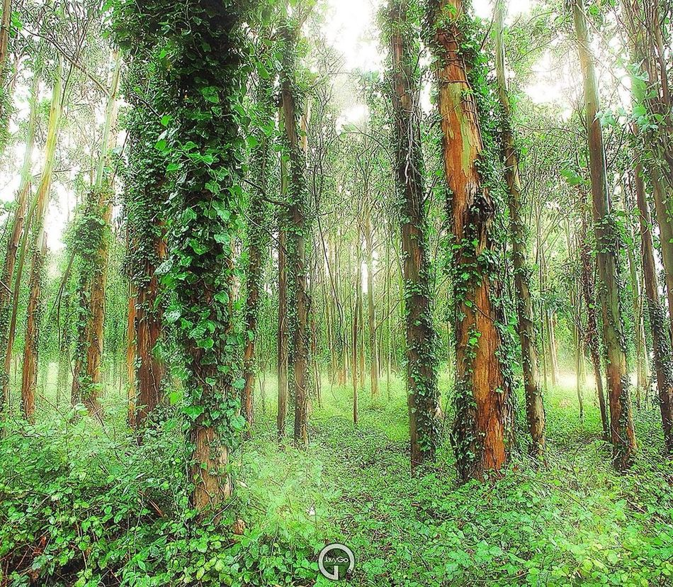 Forest SPAIN Galicia Trees