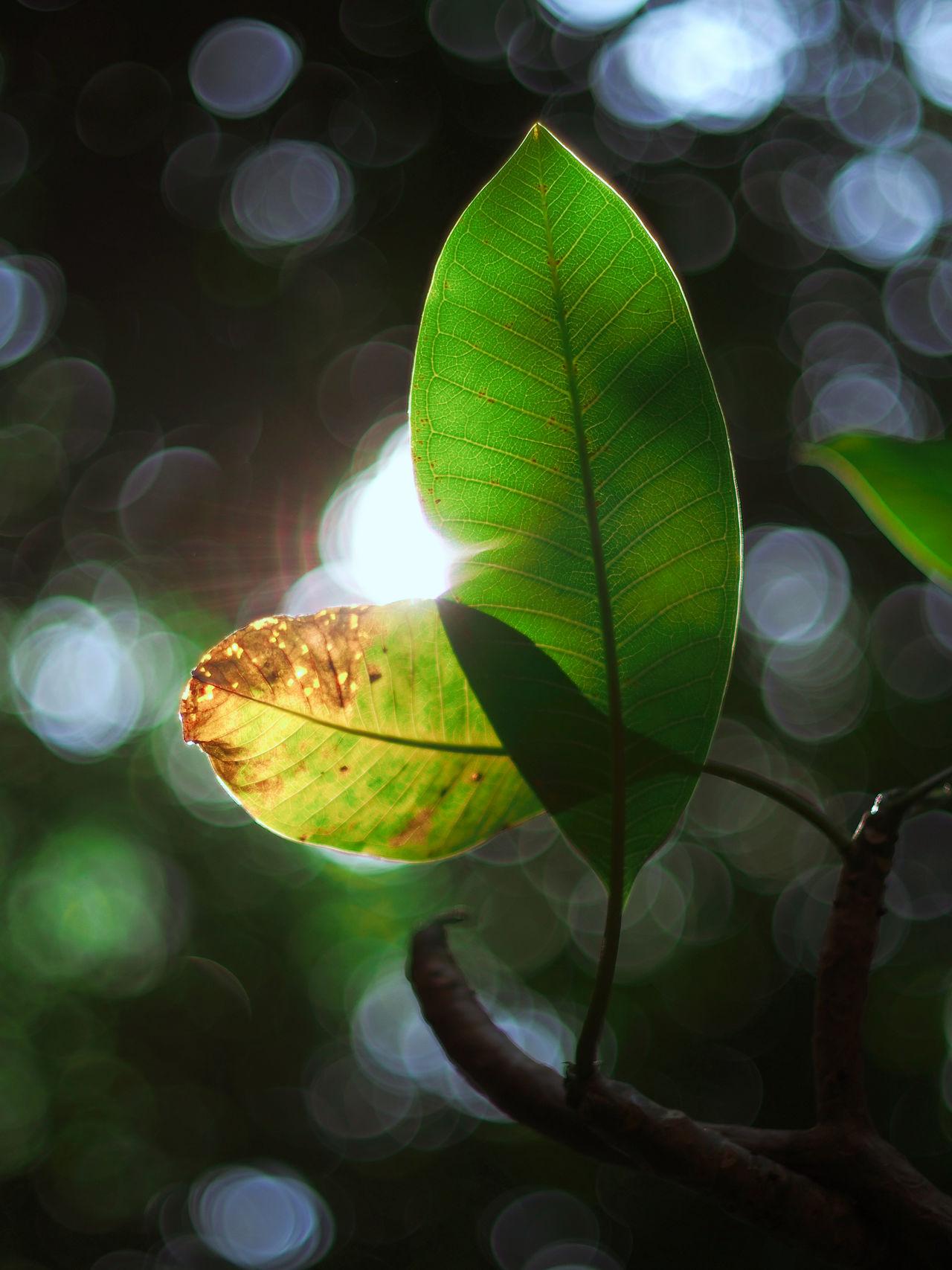 Plant Leaves🌿 Lens Flare Flarelight Nature Sunbeam Beauty In Nature Autumn🍁🍁🍁 Back Lit TakeoverContrast 50mm 1.4 Bokeh Balls Bokeh Love Bokeh Lights Botany Bokeh Photography Selective Focus