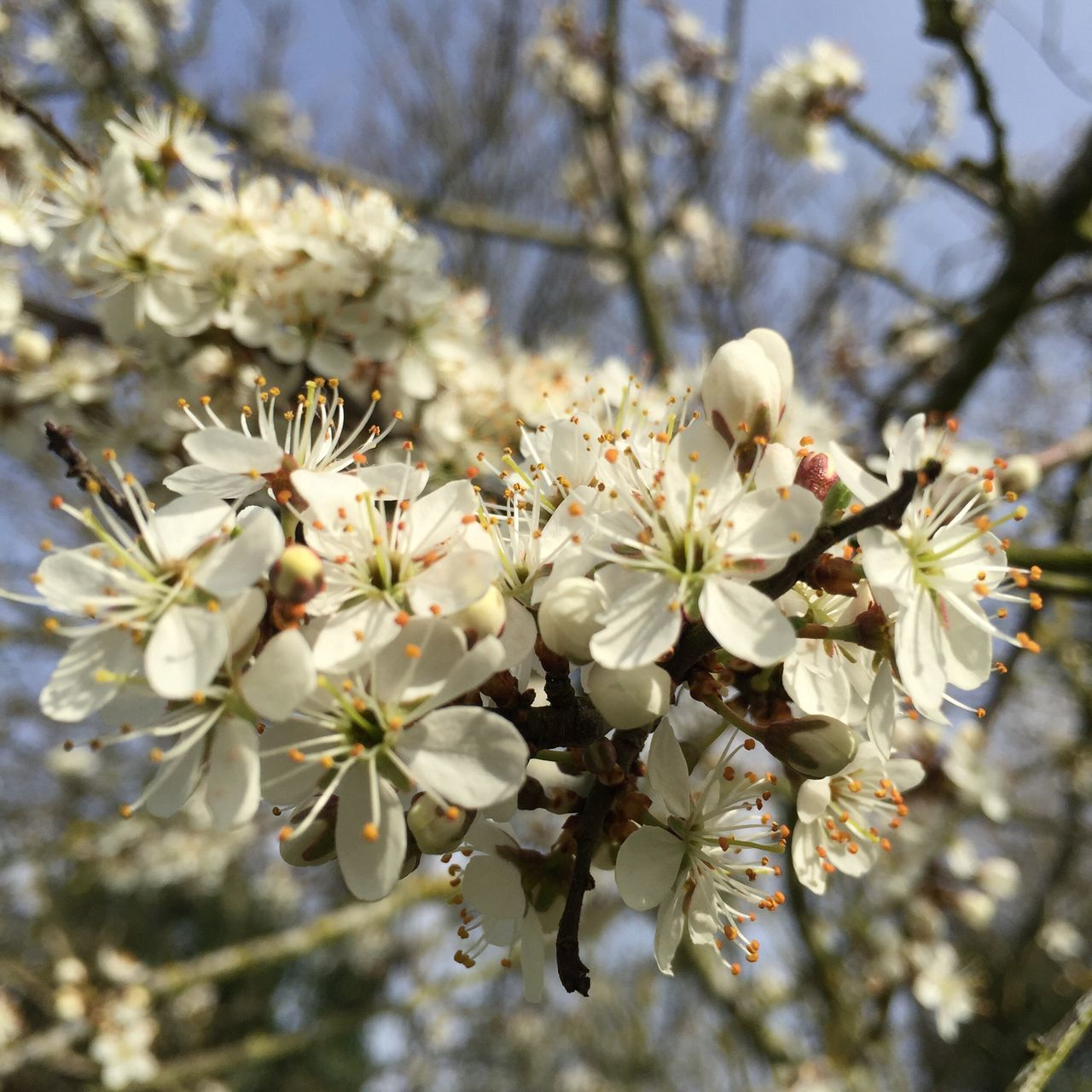 flower, tree, blossom, fragility, growth, apple blossom, branch, springtime, nature, apple tree, beauty in nature, white color, orchard, almond tree, botany, cherry tree, freshness, twig, no people, stamen, petal, day, low angle view, spring, outdoors, close-up, blooming, flower head