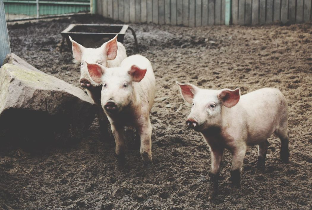 The Three Little Pigs Friends Happy Market Bestsellers April 2016 Market Bestsellers June 2016 Bestsellers