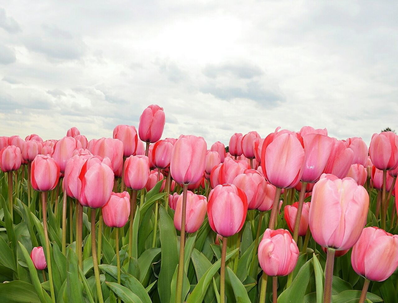 Millennial Pink Flower Nature Field Beauty In Nature Plant Fragility Growth No People Rural Scene Flower Head Landscape Pink Color Cloud - Sky Freshness Scenics Outdoors Sky Tulip Day