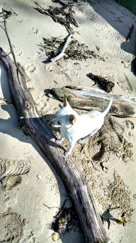 Sugar wondering what Sage is doing. Enjoying The Sun Chihuahua Beach Photography Sunshine Taking Photos Chihuahualovers