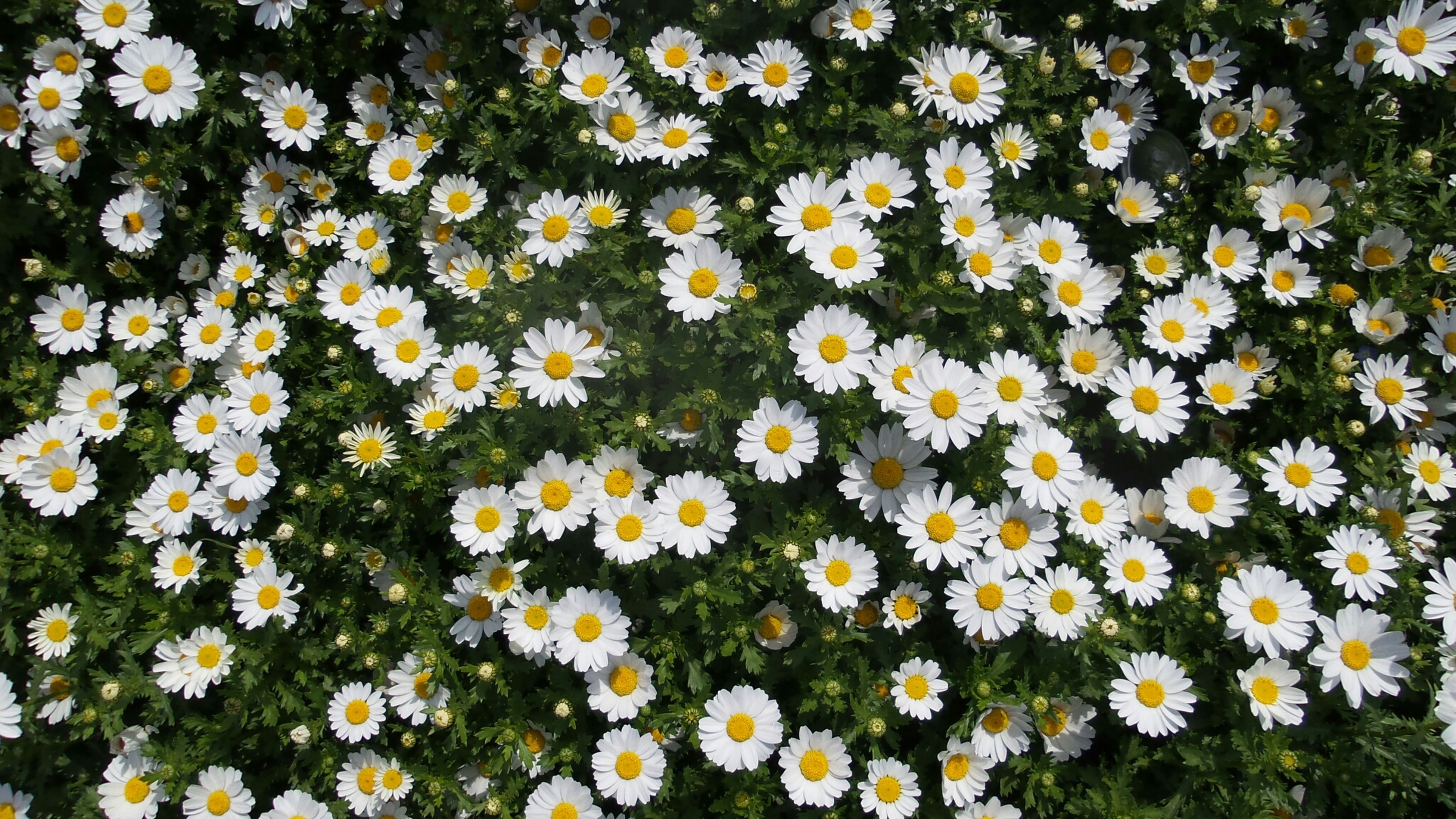 flower, freshness, fragility, growth, petal, daisy, white color, beauty in nature, yellow, flower head, high angle view, nature, blooming, plant, full frame, field, backgrounds, abundance, in bloom, blossom