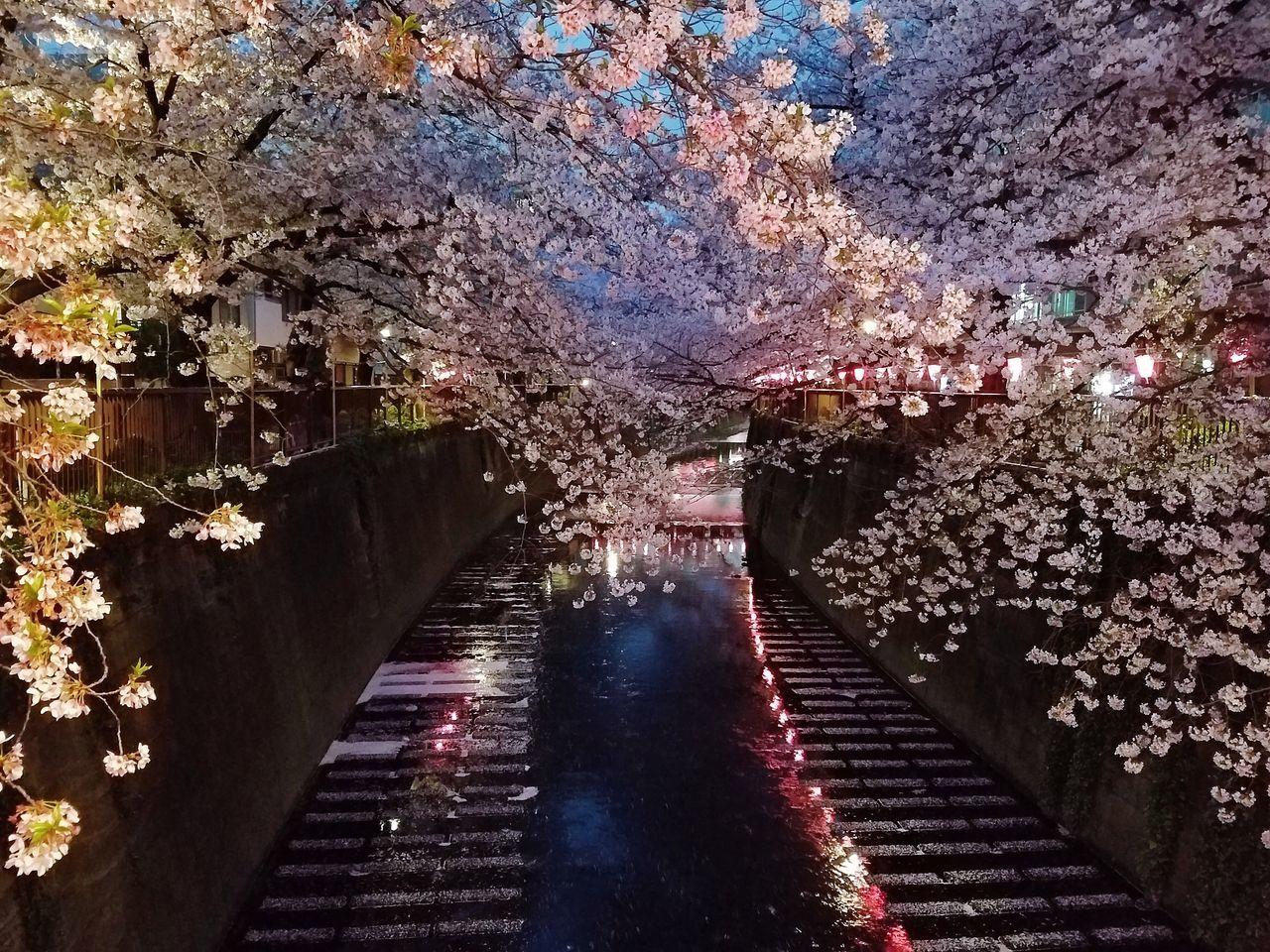 Sakura Trees Along The River Cherry Blossom Springtime Spring Has Sprung