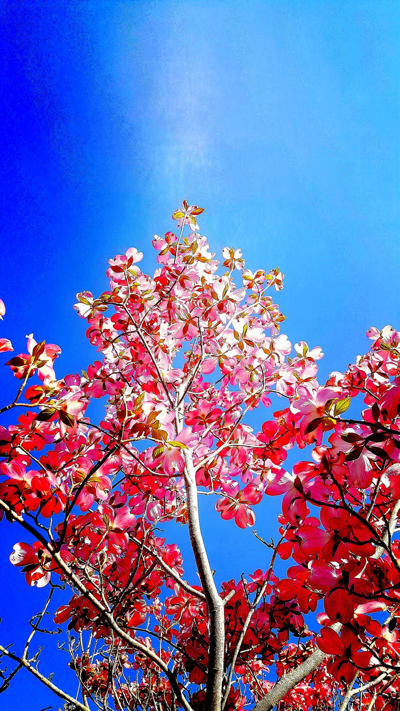 Low Angle View Sky Blue Day Tree Clear Sky Beauty In Nature Pink Flower 🌸 Tronco Ramas🌿