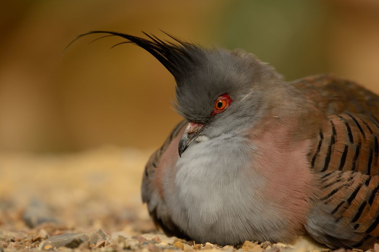 Animal Animal Themes Beauty In Nature Bird Check This Out Close-up Crested Pigeon Day Eye4photography  EyeEm Best Shots EyeEm Gallery EyeEm Nature Lover Focus On Foreground Grey Grey Bird Nature Nature Photography Nature_collection Naturelovers No People Outdoors Portrait Selective Focus Sitting Taking Photos