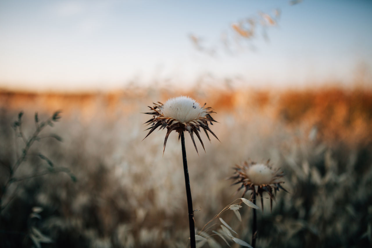 Alentejo Beauty In Nature Close-up Day Field Flower Flower Head Focus On Foreground Fragility Freshness Growth Nature No People Outdoors Plant Portugal Selective Focus Sky Sunset Thistle Thistle Flower Uncultivated Wildflower