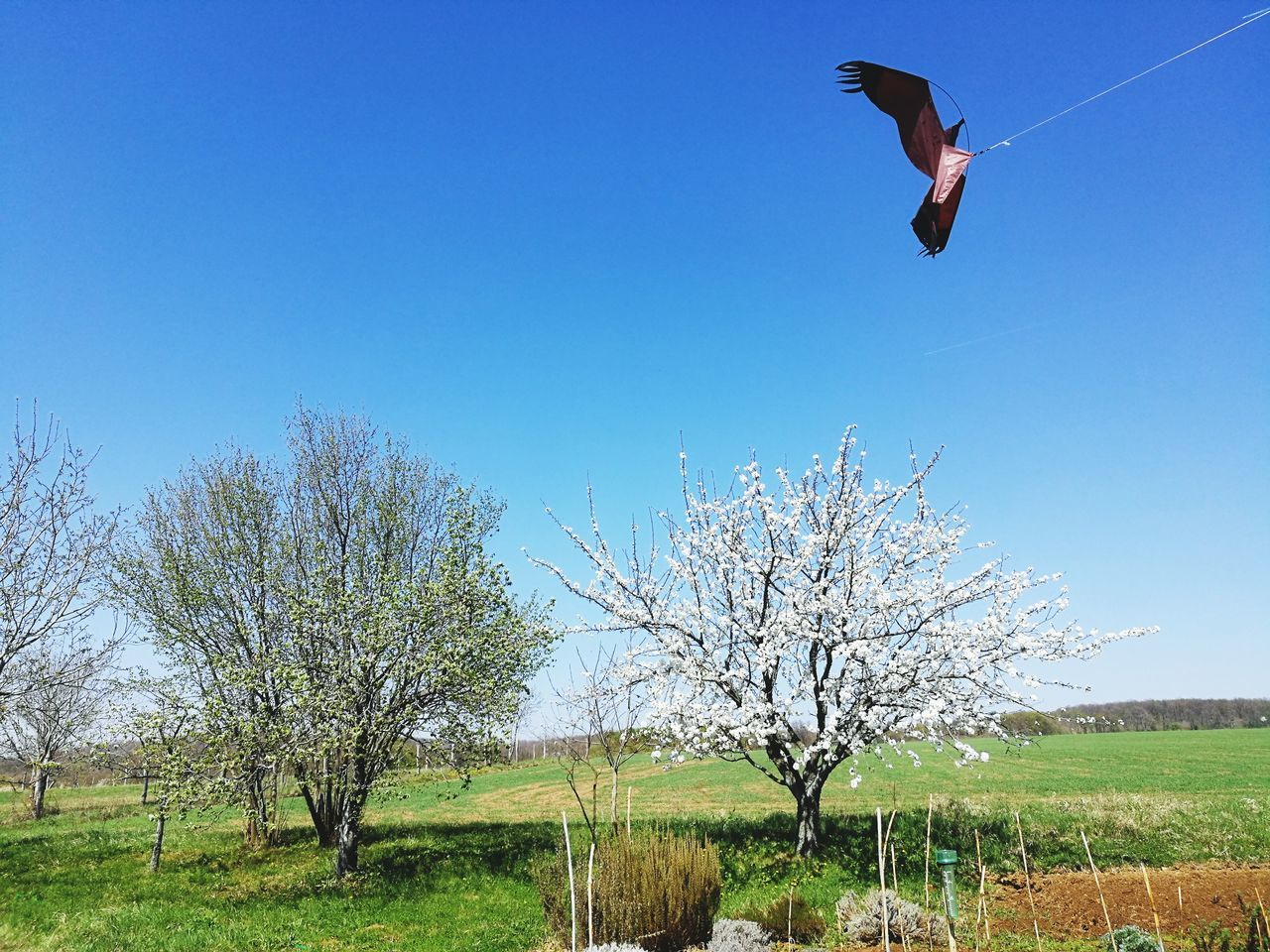 BirdscarrerFlying Clear Sky Kite Flying No People Tree Blue Zero Wind Kite EyeEmNewHere