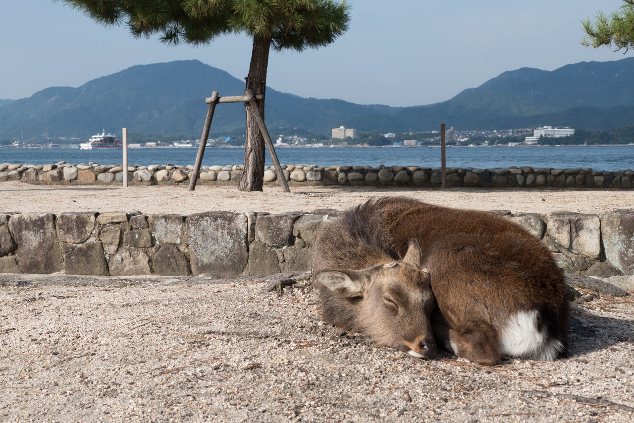 Animal Beach Countryside Day Deer Hiroshima Hiroshima -Miyajima Hiroshima,japan Miyajima Mountain Nature No People Outdoors Sand Sea Tree Water