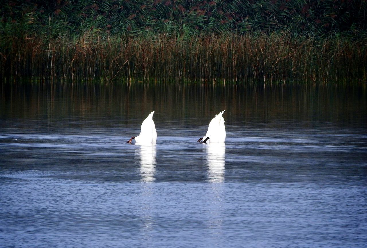 Bottoms Up 😁 ~ Reflection Animal Wildlife Animals In The Wild Water Nature Lake No People Outdoors Swimming Day Beauty In Nature Animal Themes White Feathers Birds In The Wild EyeEm Birds Diving Bird Nature On Your Doorstep The Week On EyeEm Swans ❤ Nikon Photography Mute Swan