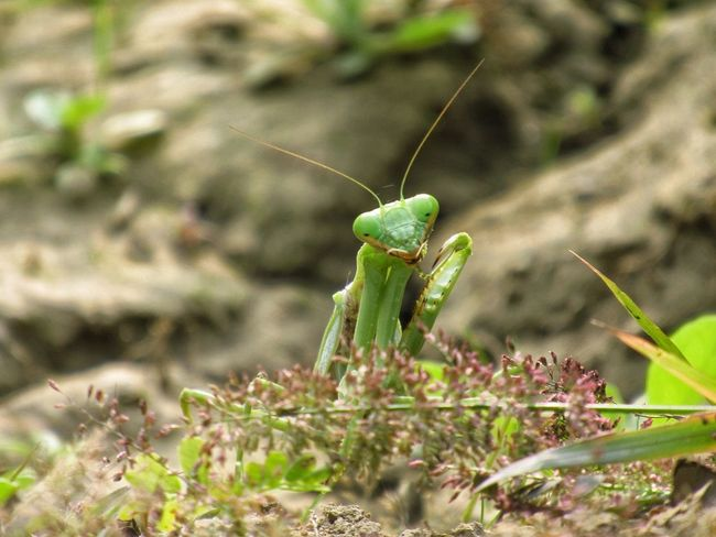 mantis pose 4 Nature Photography Nature In Wild Natural Light Fit For Wallpaper depth of field Green Leaves☘️ Coming In Focus Mantis Pose Mantis Collections Mantis In The Garden Insect Animal Wildlife Animals In The Wild One Animal Animal Themes No People Close-up Focus On Foreground Grasshopper Green Color Plant Nature Outdoors Day EyeEmNewHere