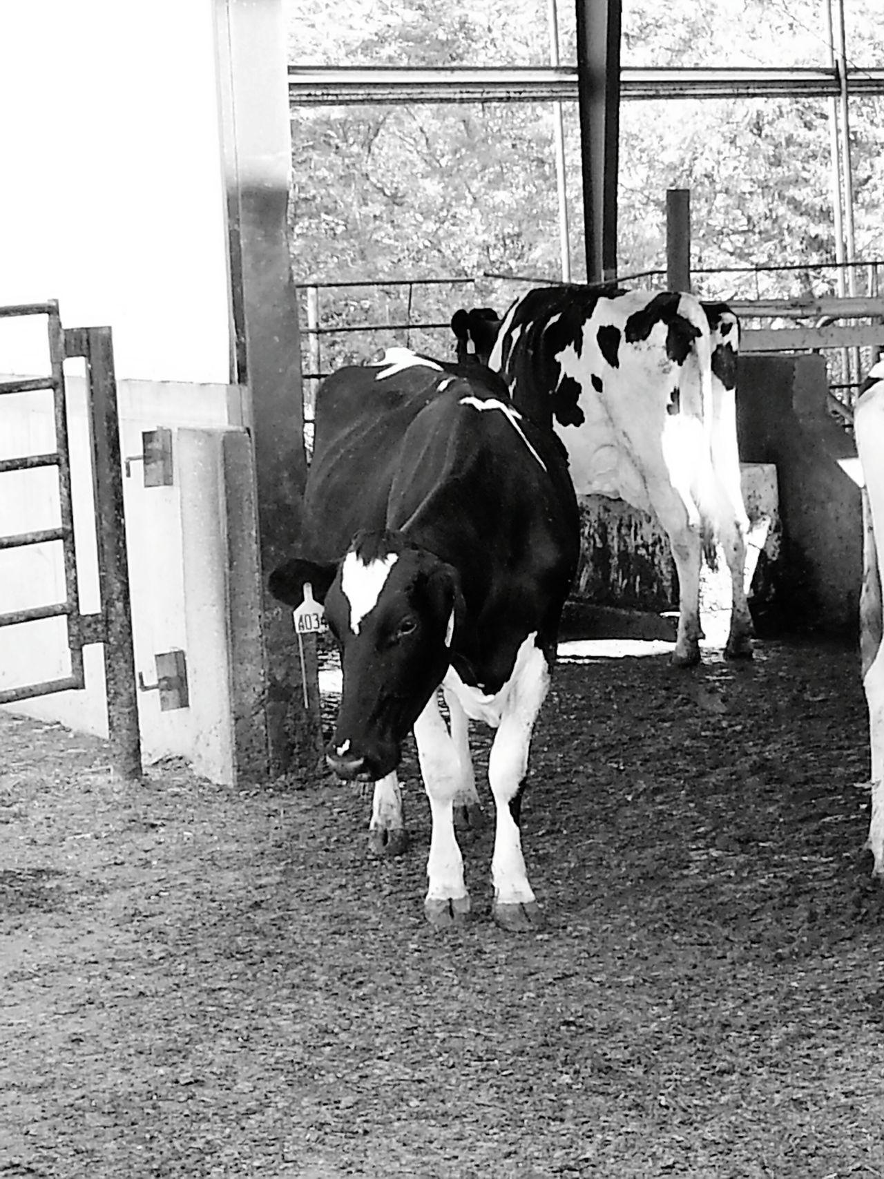 Fresh Produce Fall Farmtotable Farm Missouri Fresh Cows