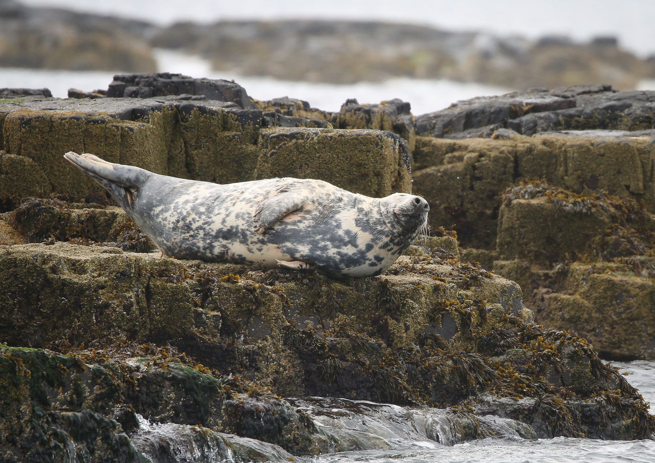 Grey Seal in the Farne Islands Animal Themes Beach Beauty In Nature Close-up Day Focus On Foreground Nature No People Outdoors Rock - Object Rough Sea Sky Water