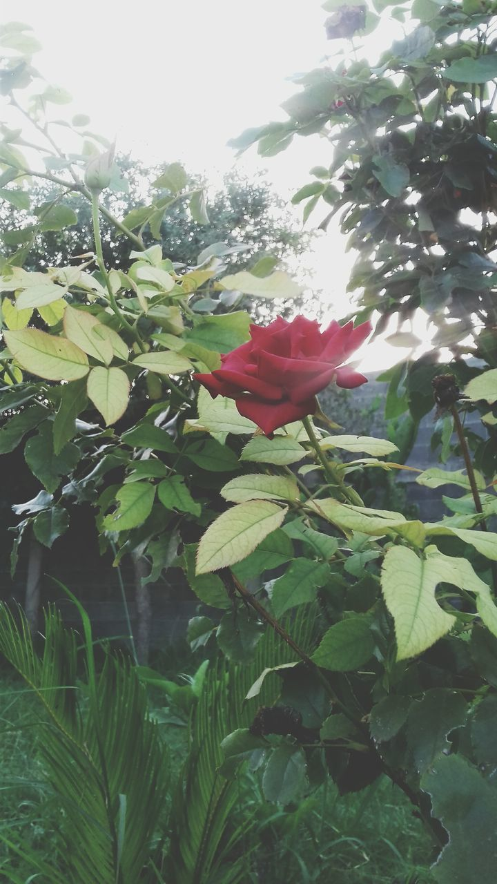 flower, petal, growth, beauty in nature, fragility, freshness, nature, red, plant, flower head, leaf, green color, no people, day, rose - flower, outdoors, close-up, hibiscus, blooming, tree