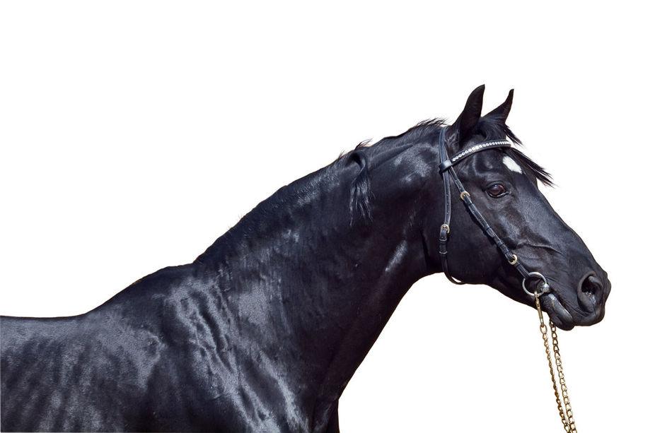 Animal Black Horse Isolated Sportive White