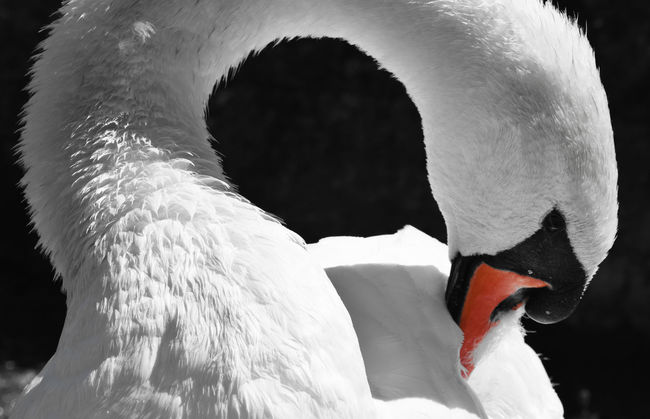 Swan Animal Body Part Animal Head  Beauty In Nature Bird Black And White With A Splash Of Colour Close-up Feather  Nature Schwan  Swan Swans Water Bird White Color