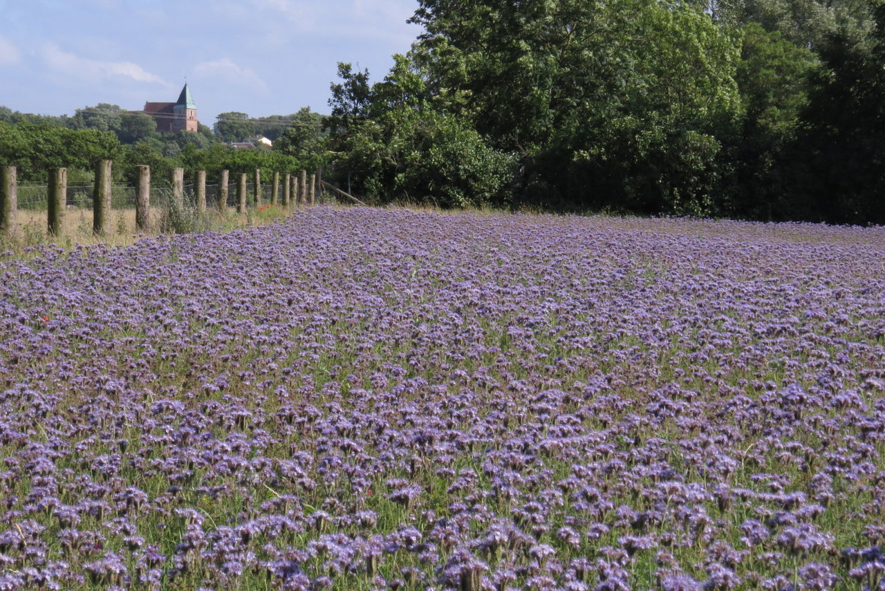Phaceliafeld Agriculture Beauty In Nature Blooming Church In The Background Field Landscape No People Plant Purple Sky