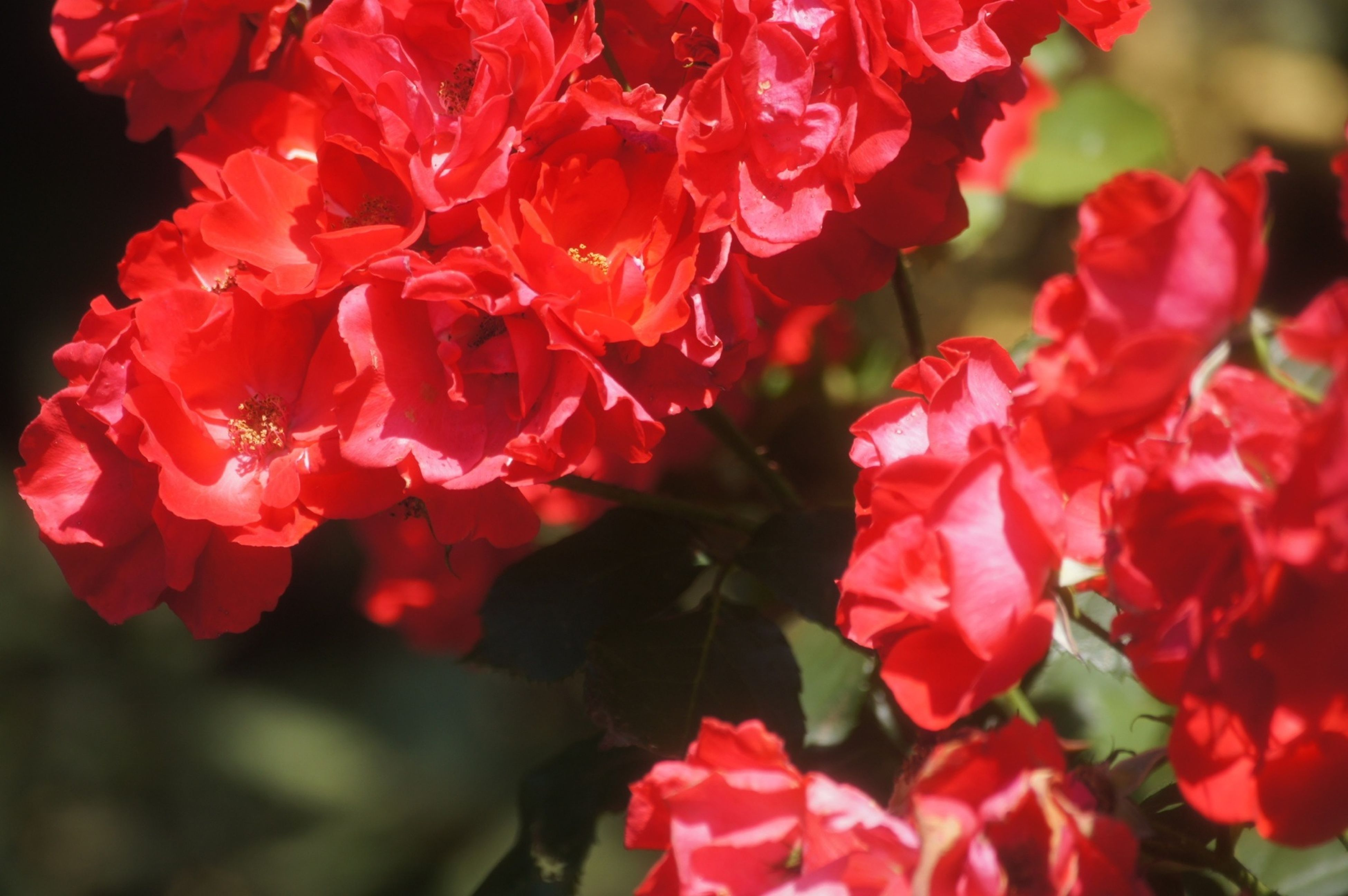 flower, petal, freshness, fragility, flower head, red, growth, beauty in nature, close-up, blooming, focus on foreground, nature, plant, rose - flower, in bloom, pink color, park - man made space, blossom, no people, outdoors