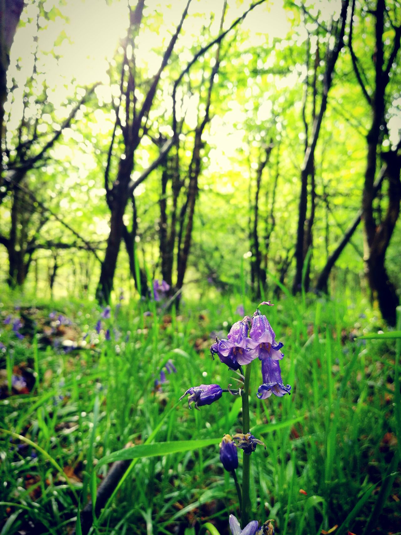 Nature Growth Beauty In Nature No People Day Forest Plant Bluebells Bluebell Wood Close-up Freshness Flower Head Fragility Flower Outdoors