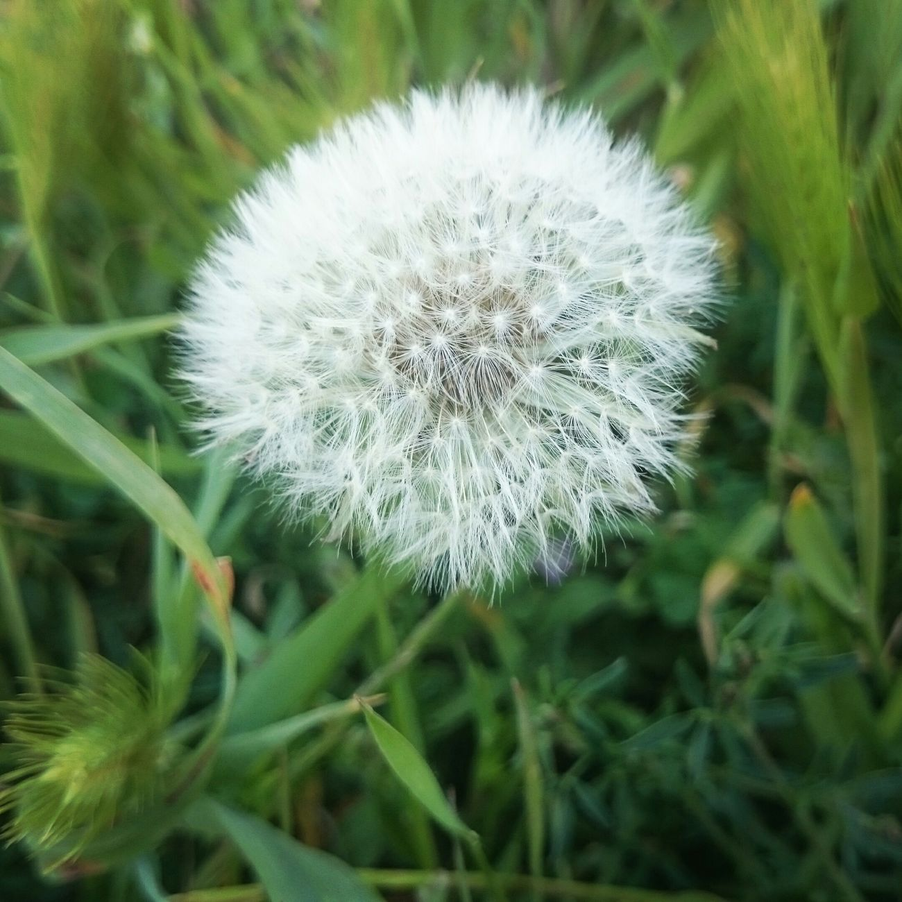 My Dandelion❤ First Eyeem Photo EyeEm Best Shots Eyemphotography EyeEm Nature Lover Eyem Best Shots Nature_collection Eyem Nature Dandelion Collection Dandelion In Spring Dandelion Addiction 💙