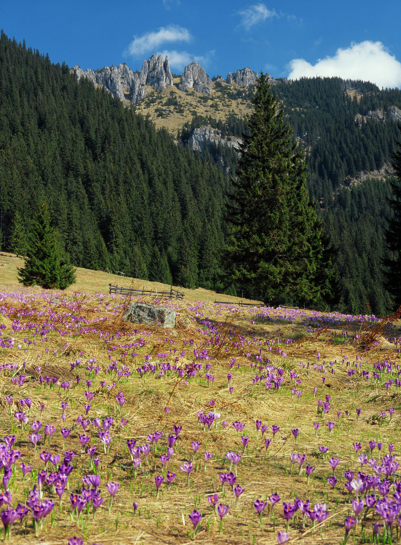 Beauty In Nature Blooming Crocus Day Flower Flowerbed Freshness Mountain Mountains Multi Colored Nature Outdoors Poland Spring Spring In The Mountains Springtime Tatry