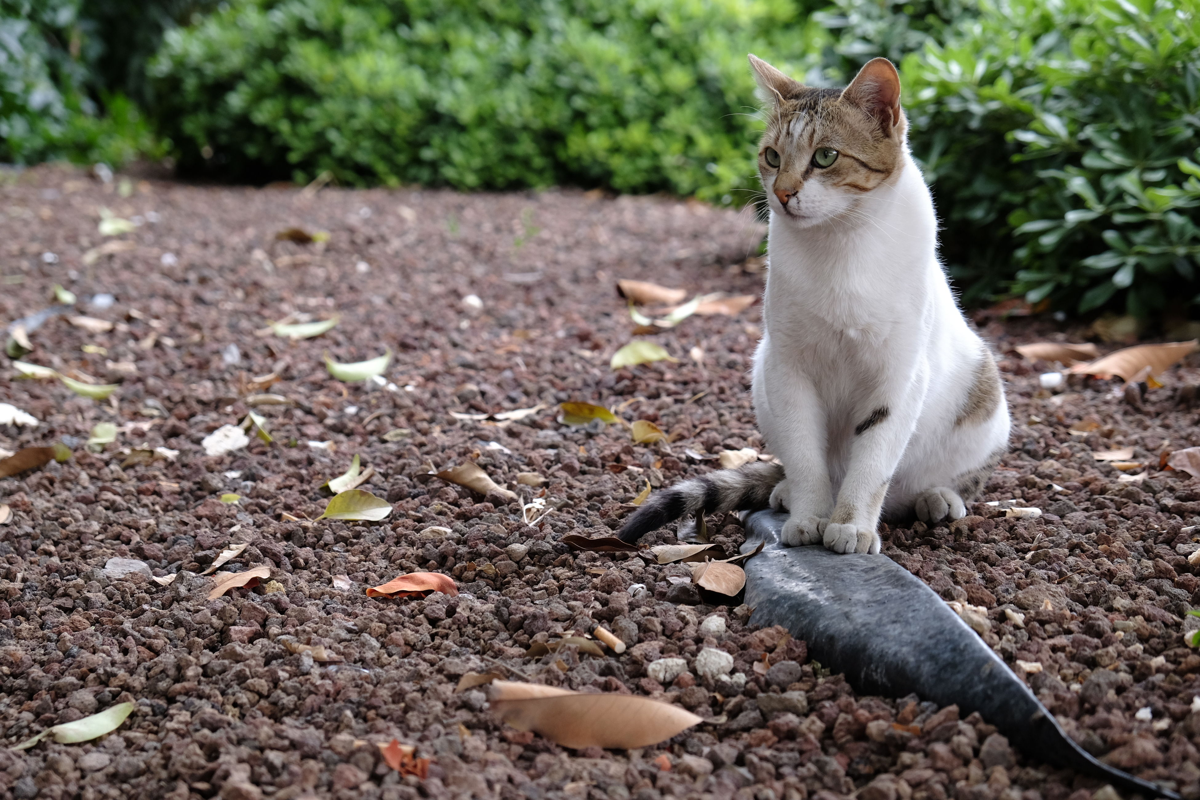 animal themes, one animal, leaf, domestic animals, field, pets, mammal, full length, nature, day, outdoors, ground, cat, no people, wildlife, domestic cat, street, looking away, selective focus, animals in the wild