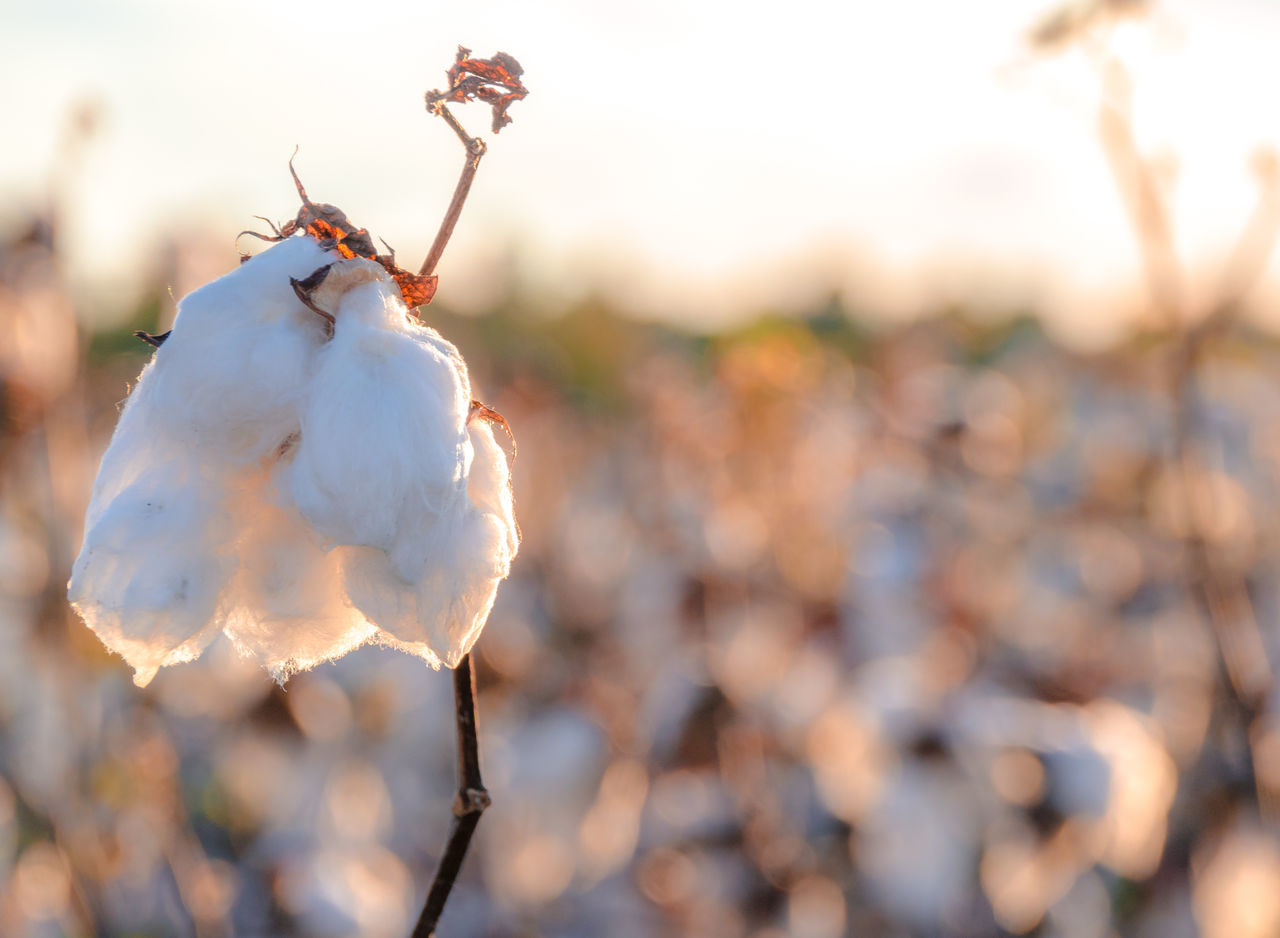 Agriculture Aiken Beauty In Nature Bokeh Photography Close-up Cotton Field Cotton Flower Cotton Plant Day Fashion Fragility Freshness Golden Hour Growth Nature Nature In Action No People Outdoors Plant South Carolina Southern Sunset