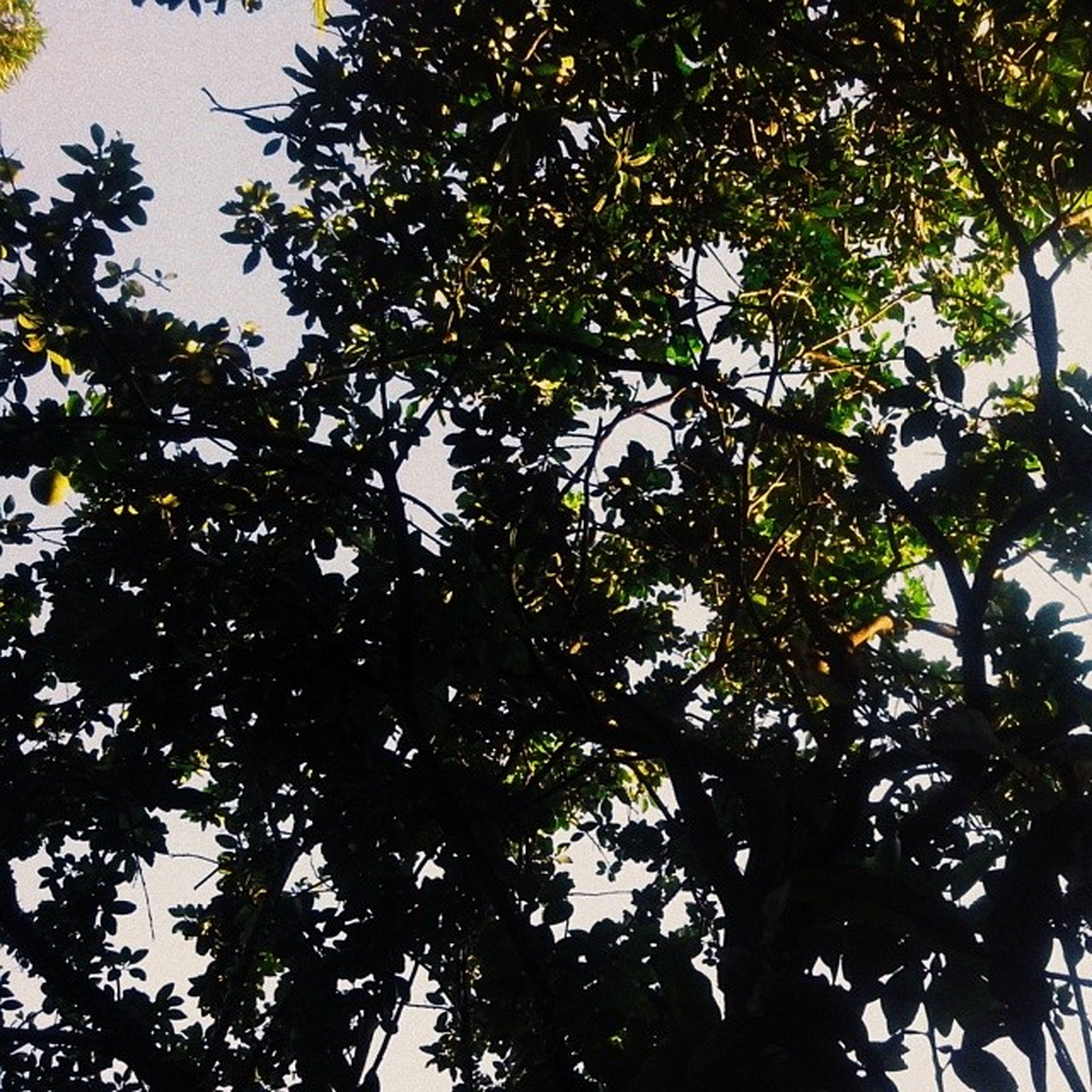tree, low angle view, branch, growth, nature, leaf, beauty in nature, tranquility, green color, sky, day, outdoors, backgrounds, no people, clear sky, full frame, directly below, lush foliage, tree trunk, high section