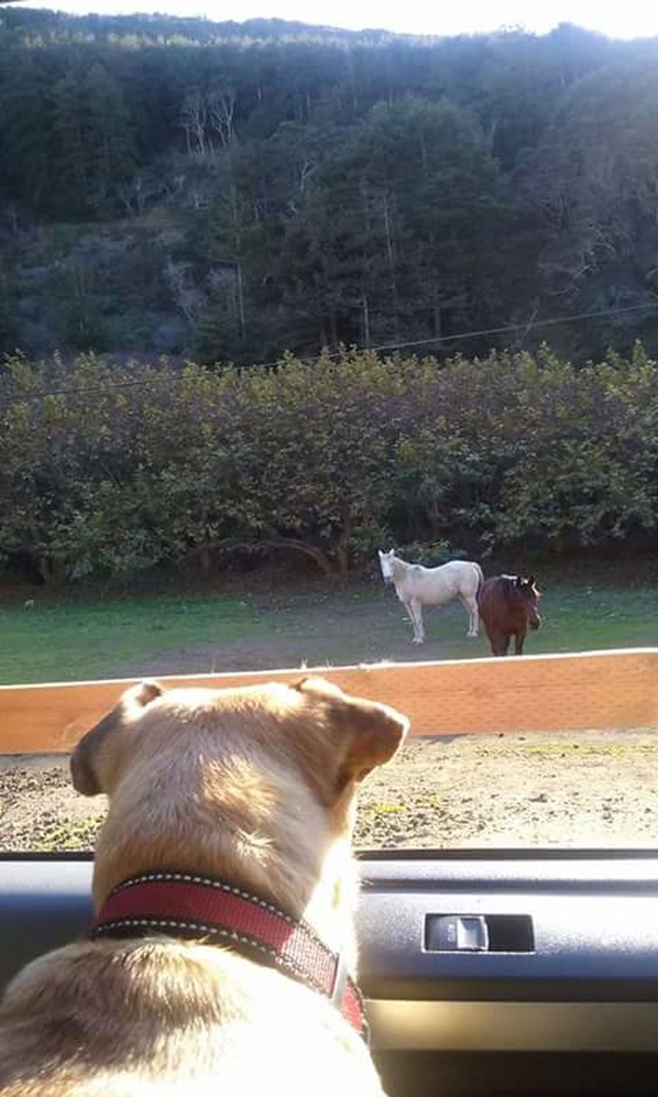 Animal Photography Mydog Chug Horses Dog Meets Horses Animallove Nature Trees Juliapfeiferstatepark