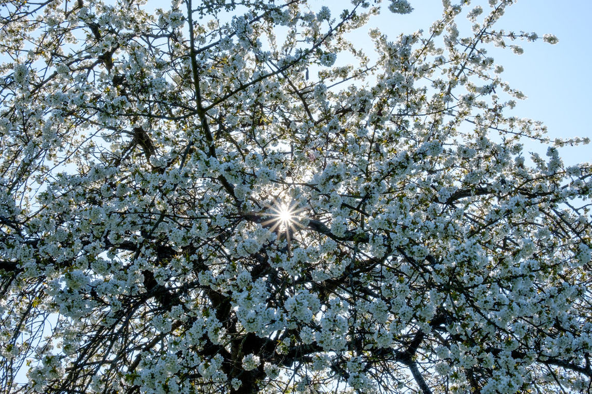 Backlighting Photography Tree Growth Freshness Springtime Beauty In Nature Nature Blossom Outdoors