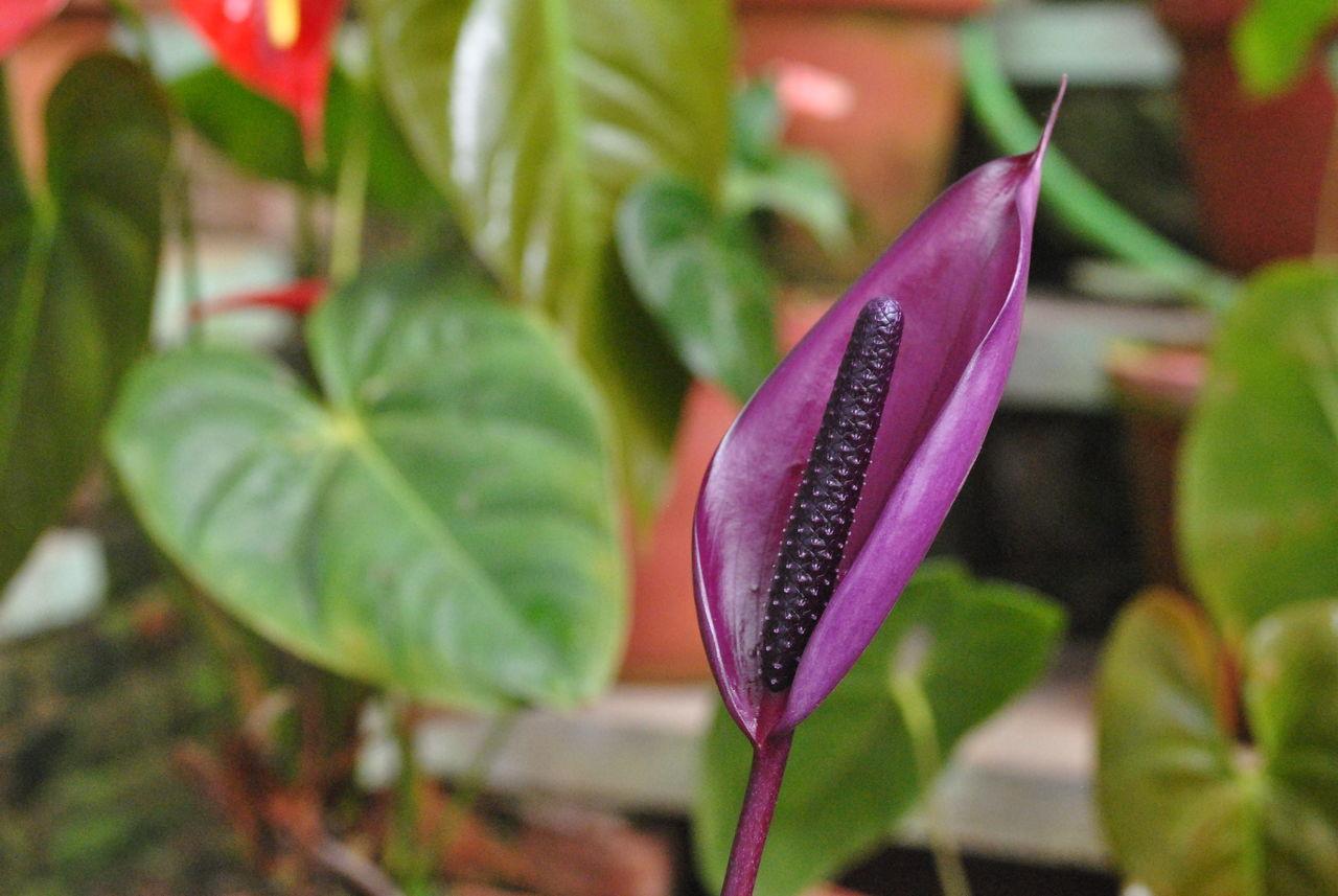 Flower Head Flower Collection Flowers,Plants & Garden Purple Flower Purple Lilies In Bloom