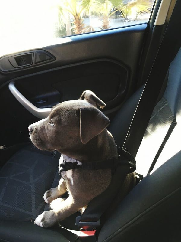 Pitbull Transporter Puppy Love Ma Baby More My Fiends Baby