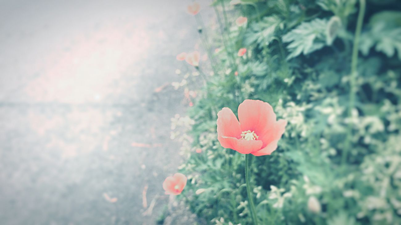 ヒナゲシ Nature Growth Petal Beauty In Nature Plant No People Outdoors Day Flower Focus On Foreground Freshness Close-up Blooming Fragility Flower Head Poppy Flowers Kyoto City