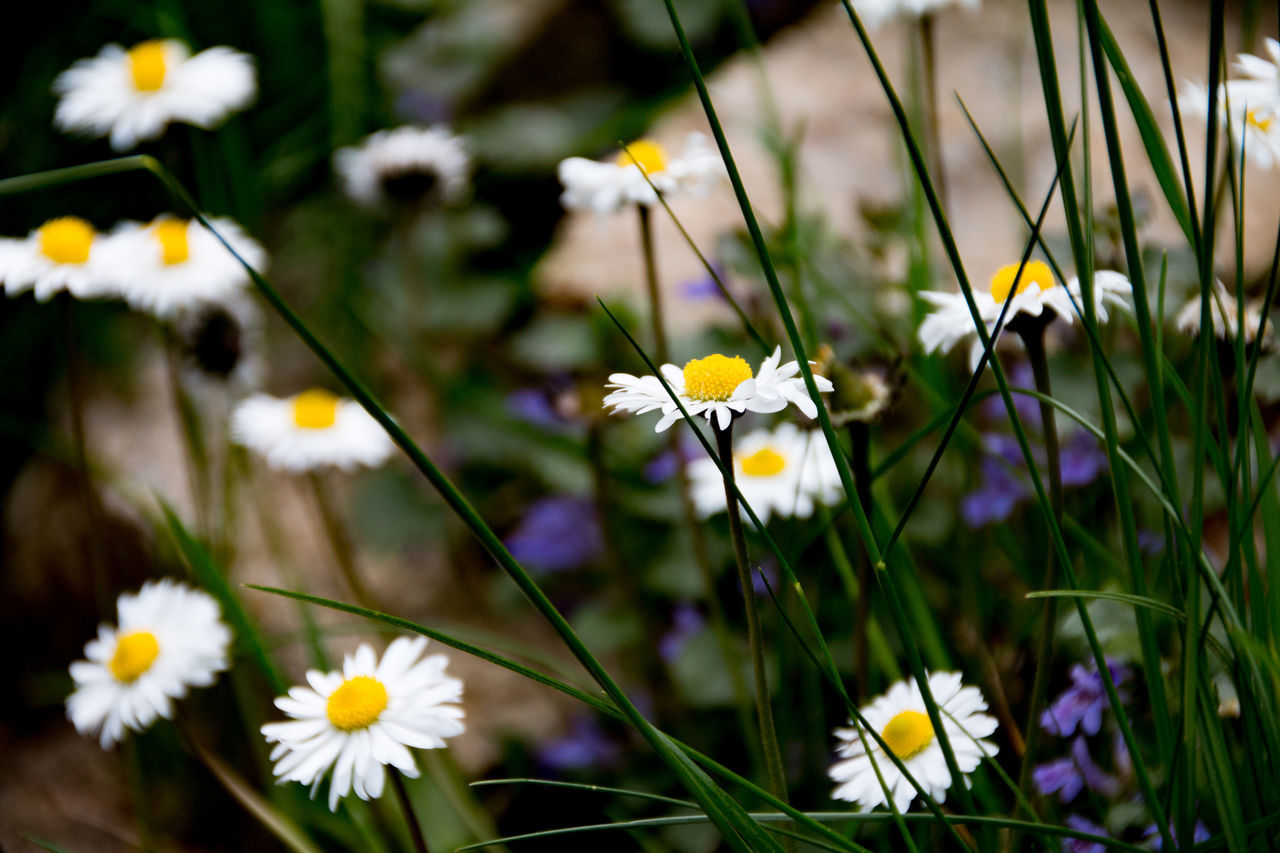 White Daisies Blooming On Field