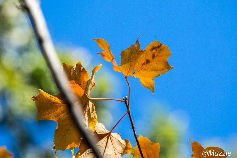 Nature Leaf Autumn Change No People Beauty In Nature Outdoors Close-up Day Sunlight Maple Leaf Growth Clear Sky Fragility Low Angle View Maple Tree Sky Canonphotography Canon5Dmk3 Canon5dmarkiii