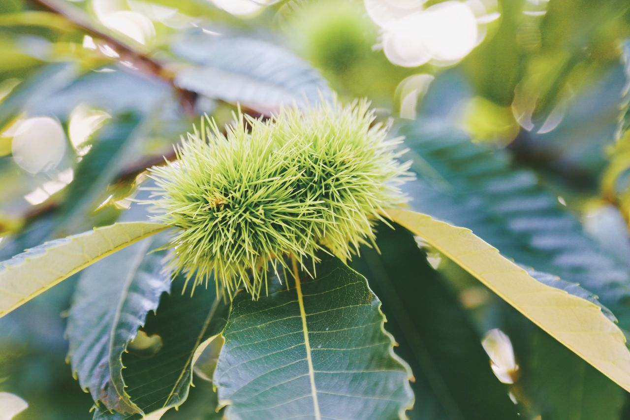 Growth Nature Plant Close-up Green Color No People Leaf Outdoors Day Branch Beauty In Nature Freshness Spiked Spikes Spiky Green Color Low Angle View Plant Nature Growth Full Frame Tree Chestnuts Chestnut Shapes And Forms