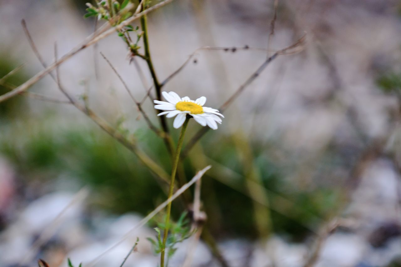 flower, growth, nature, petal, fragility, flower head, white color, beauty in nature, focus on foreground, day, outdoors, plant, freshness, blooming, no people, close-up