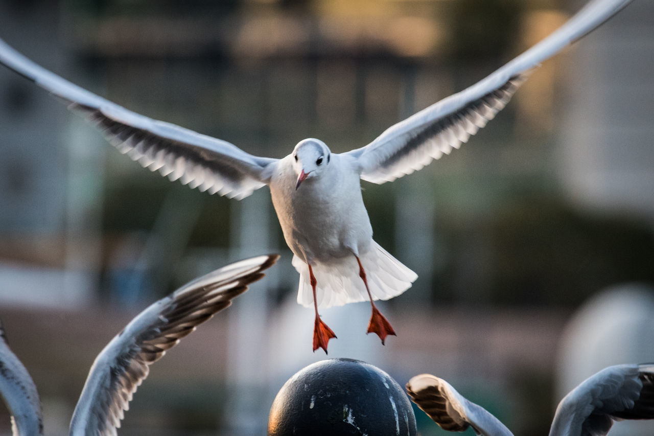 bird, spread wings, animals in the wild, animal wildlife, animal themes, flying, focus on foreground, day, one animal, mid-air, outdoors, no people, motion, nature, close-up, seagull, beauty in nature
