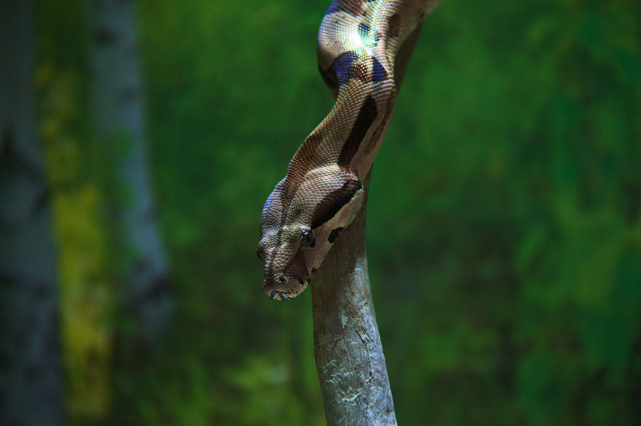 Beautiful stock photos of schlange, Animal Themes, Animal Wildlife, Animals In Captivity, Boa Constrictor