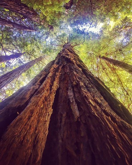 Tree Trunk Low Angle View Tree Nature Forest Day Environment Growth No People Wood - Material WoodLand Tranquility Outdoors Beauty In Nature Branch Close-up Woods Woodstock Tree Trees Muir Muir Woods National Park Nature Nature_collection