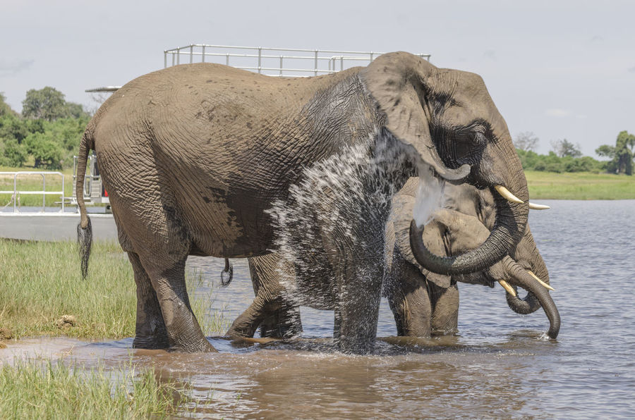 Young Elephant Animal Themes Day Drink Elephant Bathing Mammal No People Water