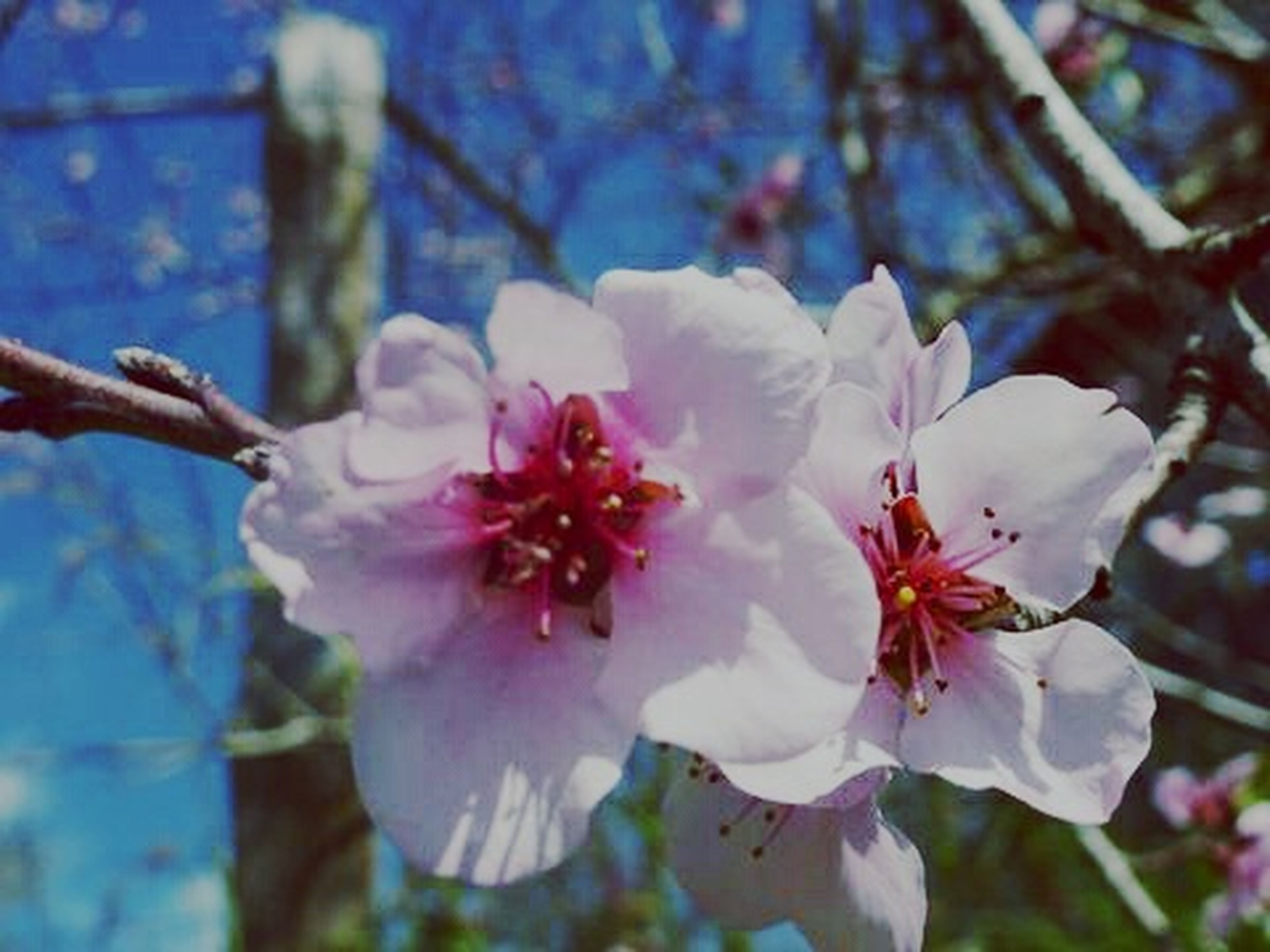 flower, petal, fragility, freshness, flower head, growth, focus on foreground, beauty in nature, blooming, close-up, nature, cherry blossom, branch, pollen, tree, in bloom, stamen, blossom, white color, pink color