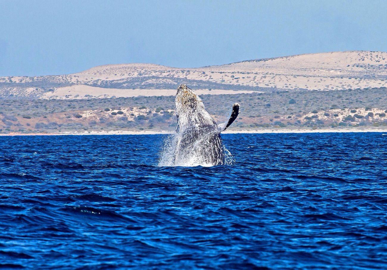 Humpback Whale Whale Whale Watching Australia