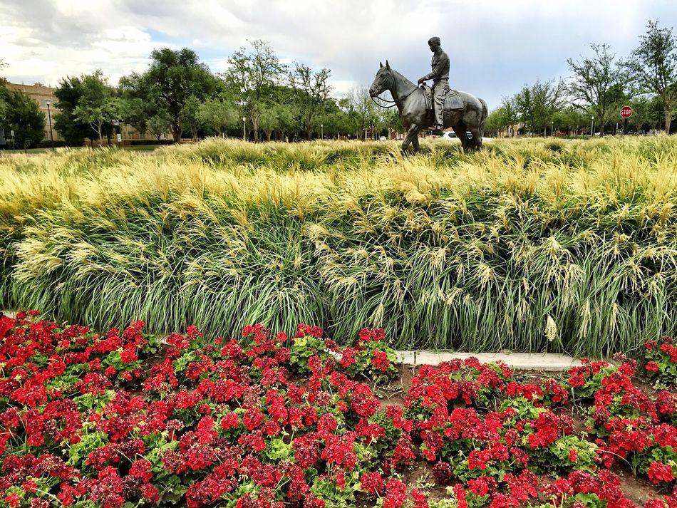 Lubbock Tx TTU Will Rogers Statue Grass Horizontal Composition