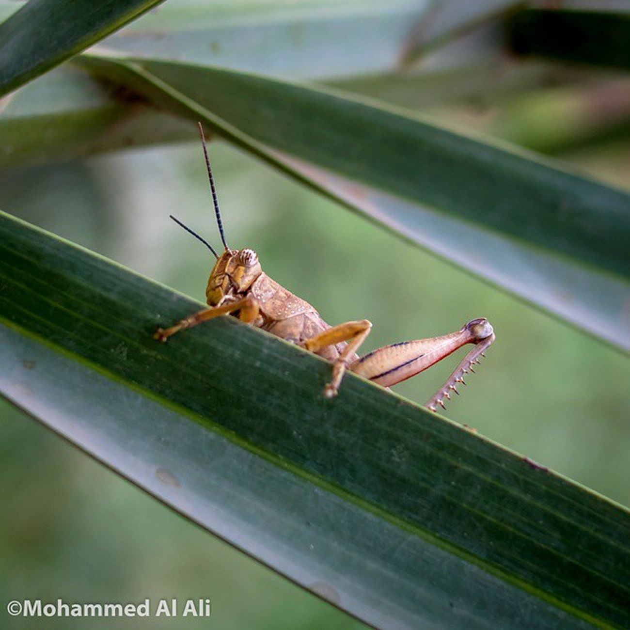 Olympus OlympusPEN PL7 20mm 1 .7 Lens Lumix Macro Micro_four_third Palm Blur Steel Basrah Iraq Mft Olympuspenepl7 Insects  Grasshopper
