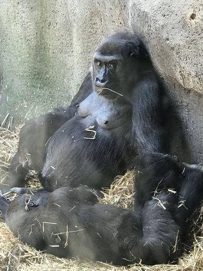 Mammal Gorilla Animals In The Wild Chimpanzee Animal Wildlife One Animal Animal Themes Ape No People Day Monkey Outdoors Nature Baboon Close-up